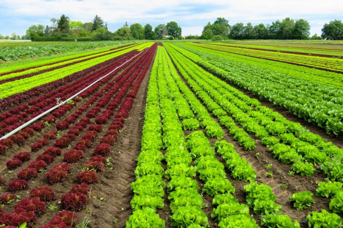 L'agriculture bio est-elle plus durable que l'agriculture utilisant des OGM?