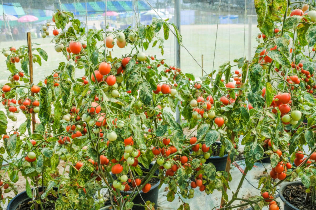 Pourquoi cultiver votre propre potager biologique?